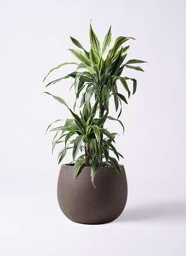 観葉植物 ドラセナ ワーネッキー レモンライム 8号 テラニアス ローバルーン アンティークブラウン 付き