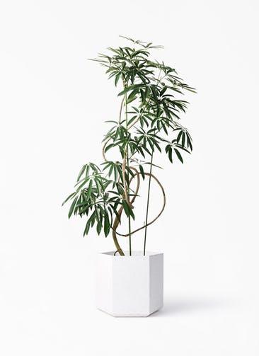 観葉植物 シェフレラ アンガスティフォリア 10号 曲り コーテス ヘックス ホワイトテラゾ 付き