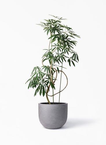 観葉植物 シェフレラ アンガスティフォリア 10号 曲り コンカー ラウンド 付き