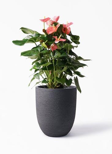 観葉植物 アンスリウム 10号 ピンクチャンピオン ビアスアルトエッグ ブラック 付き