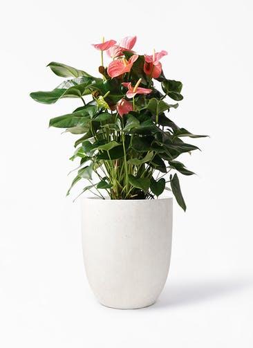 観葉植物 アンスリウム 10号 ピンクチャンピオン フォリオアルトエッグ クリーム 付き