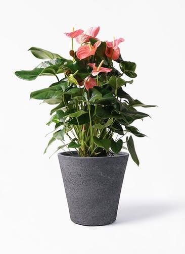 観葉植物 アンスリウム 10号 ピンクチャンピオン ビアスソリッド ブラック 付き