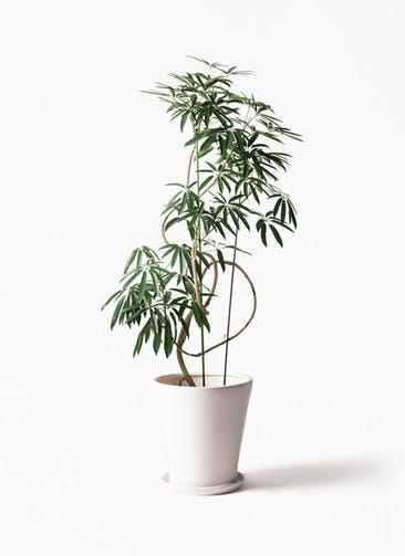 観葉植物 シェフレラ アンガスティフォリア 10号 曲り サブリナ 白 付き