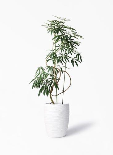 観葉植物 シェフレラ アンガスティフォリア 10号 曲り サン ミドル リッジ 白 付き