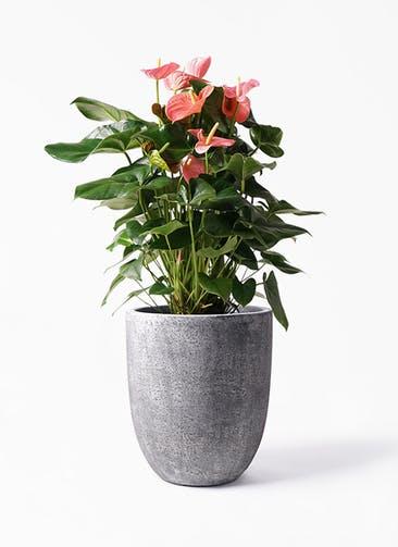 観葉植物 アンスリウム 10号 ピンクチャンピオン フォリオアルトエッグ ブラックウォッシュ 付き