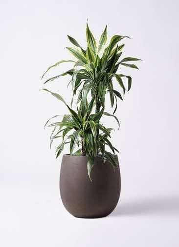 観葉植物 ドラセナ ワーネッキー レモンライム 8号 テラニアス バルーン アンティークブラウン 付き