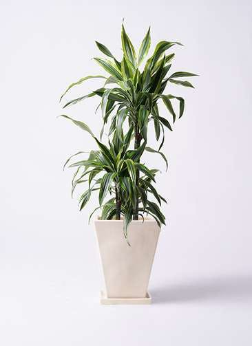 観葉植物 ドラセナ ワーネッキー レモンライム 8号 スクエアハット 白 付き