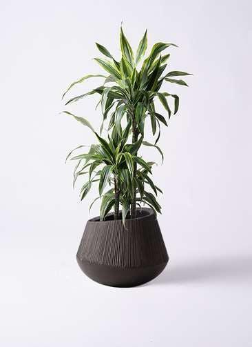 観葉植物 ドラセナ ワーネッキー レモンライム 8号 エディラウンド 黒 付き