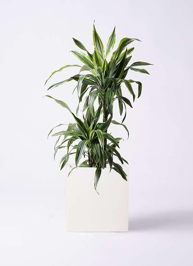 観葉植物 ドラセナ ワーネッキー レモンライム 8号 バスク キューブ 付き