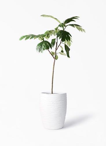 観葉植物 パンノキ 8号 サン ミドル リッジ 白 付き