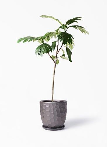 観葉植物 パンノキ 8号 サンタクルストール ブロンズ 付き