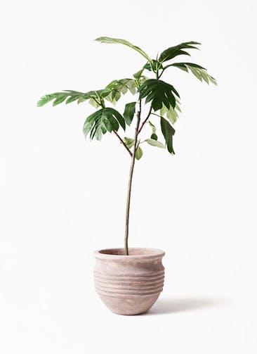 観葉植物 パンノキ 8号 テラアストラ リゲル 赤茶色 付き