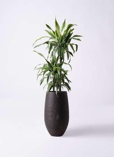 観葉植物 ドラセナ ワーネッキー レモンライム 8号 フォンティーヌトール 黒 付き