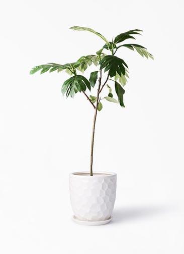 観葉植物 パンノキ 8号 サンタクルストール 白 付き