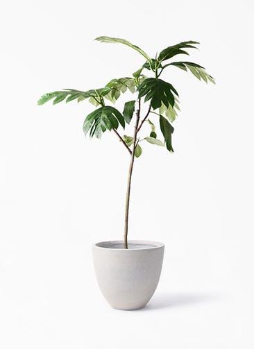 観葉植物 パンノキ 8号 スタウト アッシュラウンド 付き