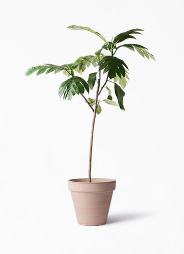 観葉植物 パンノキ 8号 スタンダルド アリーナ 付き