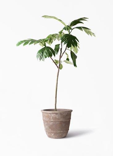 観葉植物 パンノキ 8号 テラアストラ シリウス 付き