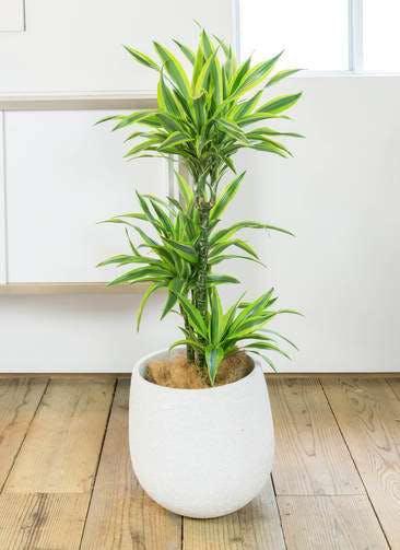 観葉植物 ドラセナ ワーネッキー レモンライム 8号 エコストーンwhite 付き