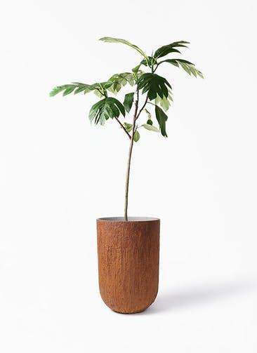 観葉植物 パンノキ 8号 バル トール ラスティ 付き