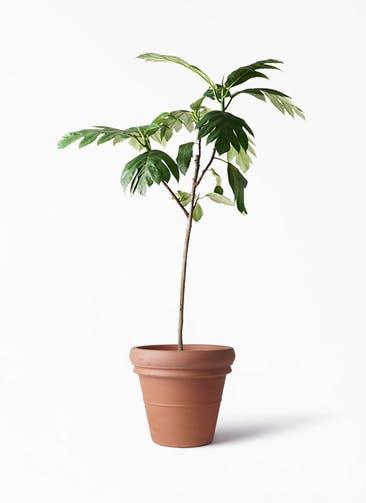 観葉植物 パンノキ 8号 トスカーナ リムポット 付き