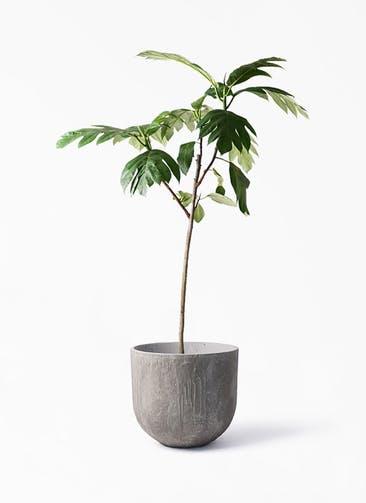 観葉植物 パンノキ 8号 バル ユーポット アンティークセメント 付き