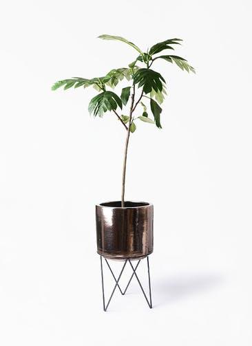 観葉植物 パンノキ 8号 ビトロ エンデカ ゴールド アイアンポットスタンド ブラック  付き
