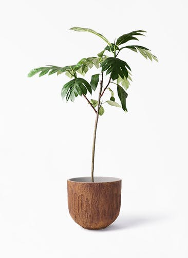 観葉植物 パンノキ 8号 バル ユーポット ラスティ  付き