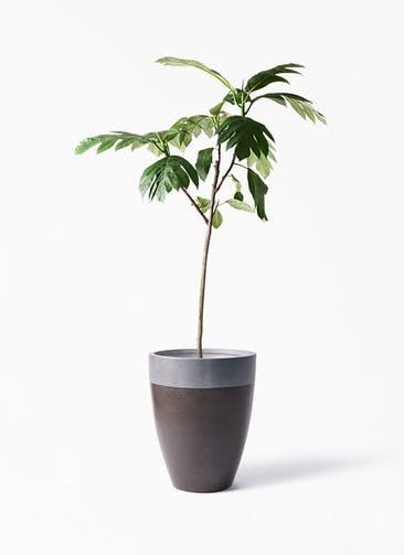 観葉植物 パンノキ 8号 ファイバーストーン カプリ マッドブラウン 付き