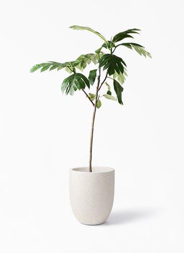 観葉植物 パンノキ 8号 フォリオアルトエッグ クリーム 付き