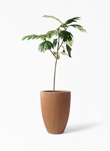 観葉植物 パンノキ 8号 リブラ モノ ラスティ 付き