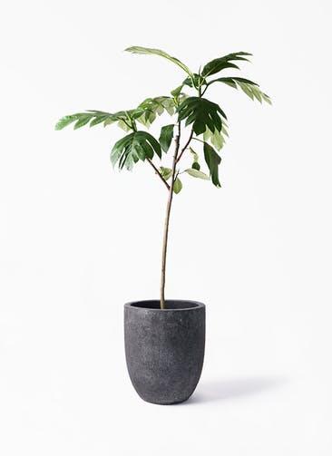 観葉植物 パンノキ 8号 フォリオアルトエッグ ブラックウォッシュ 付き