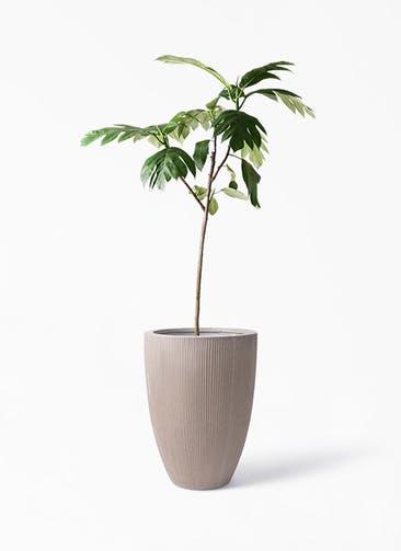 観葉植物 パンノキ 8号 リブラ モノ ブラウン 付き