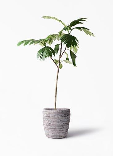 観葉植物 パンノキ 8号 凛(りん)ラージS  付き