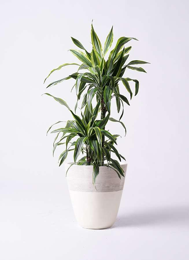 観葉植物 ドラセナ ワーネッキー レモンライム 8号 ジュピター 白 付き