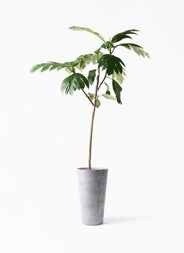 観葉植物 パンノキ 8号 アートストーン トールラウンド グレー 付き
