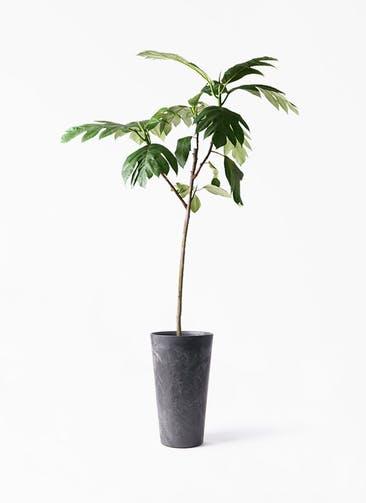 観葉植物 パンノキ 8号 アートストーン トールラウンド ブラック 付き