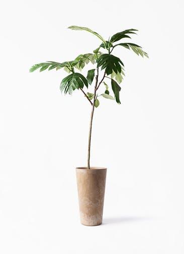 観葉植物 パンノキ 8号 アートストーン トールラウンド ベージュ 付き