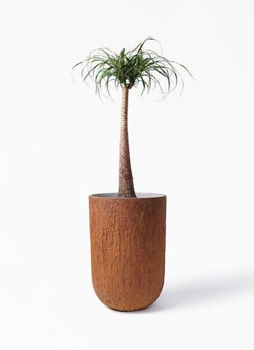 観葉植物 トックリラン 8号 バル トール ラスティ 付き
