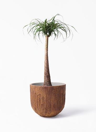観葉植物 トックリラン 8号 バル ユーポット ラスティ  付き