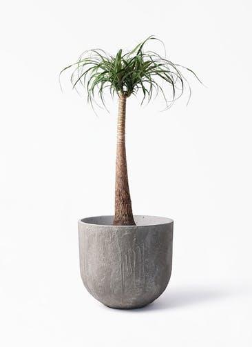 観葉植物 トックリラン 8号 バル ユーポット アンティークセメント 付き