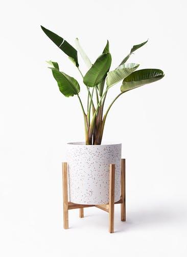 観葉植物 オーガスタ 8号 ホルスト シリンダー スパークルホワイト ウッドポットスタンド 付き