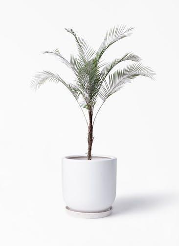 観葉植物 ヒメココス 8号 アファール 白 付き