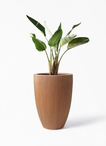 観葉植物 オーガスタ 8号 リブラ モノ ラスティ 付き