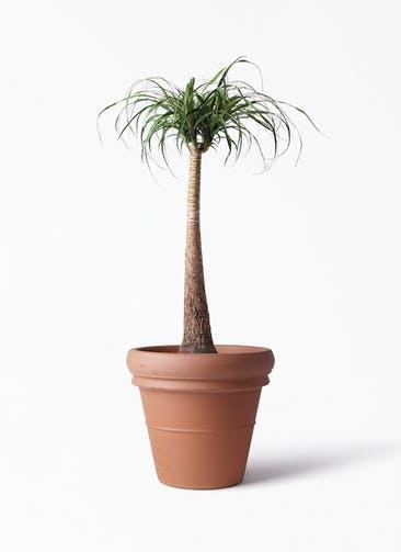 観葉植物 トックリラン 8号 トスカーナ リムポット 付き