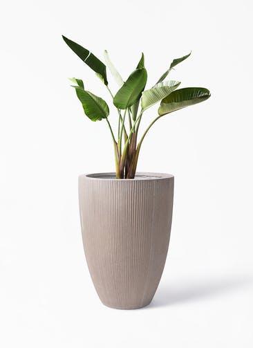 観葉植物 オーガスタ 8号 リブラ モノ ブラウン 付き