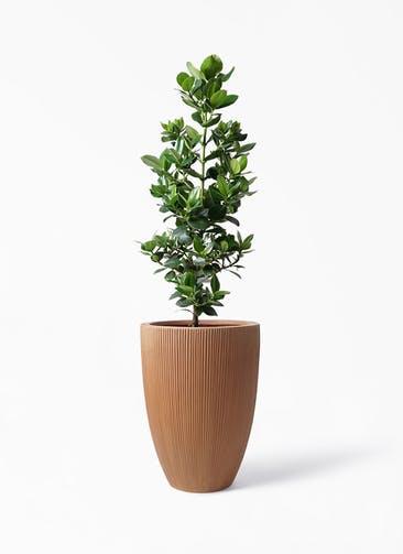 観葉植物 クルシア ロゼア プリンセス 8号 リブラ モノ ラスティ 付き