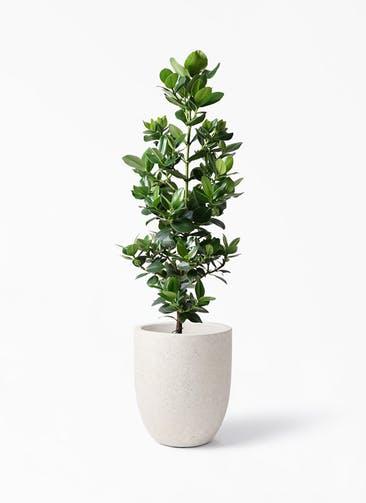観葉植物 クルシア ロゼア プリンセス 8号 フォリオアルトエッグ クリーム 付き