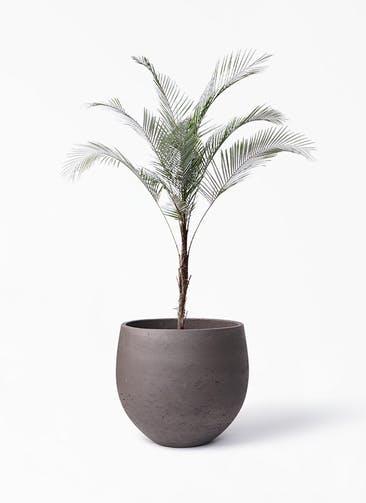 観葉植物 ヒメココス 8号 アディラボウル 濃茶 付き