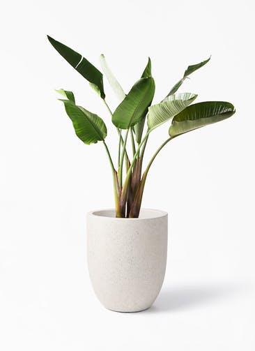 観葉植物 オーガスタ 8号 フォリオアルトエッグ クリーム 付き