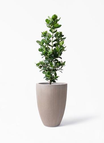 観葉植物 クルシア ロゼア プリンセス 8号 リブラ モノ ブラウン 付き